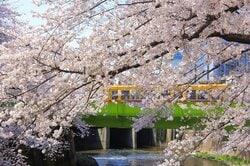 神田川の遊歩道から臨む桜並木