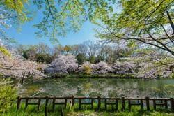 満開のソメイヨシノに彩られた井の頭恩賜公園(出典:PIXTA)