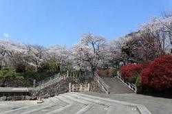 北区の飛鳥山公園の桜